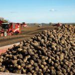 Власти Кузбасса прокомментировали рост цен на картофель