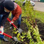 В Ленинске-Кузнецком высадили 700 саженцев спиреи
