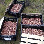 В Анжеро-Судженске высадят 7 тысяч тюльпанов… в октябре