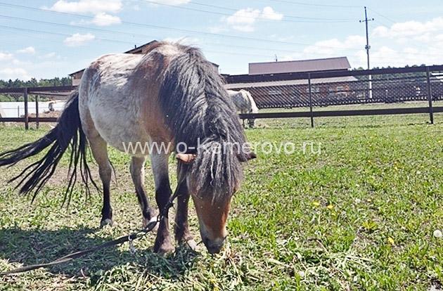 Пони на Страусином ранчо, Кемерово