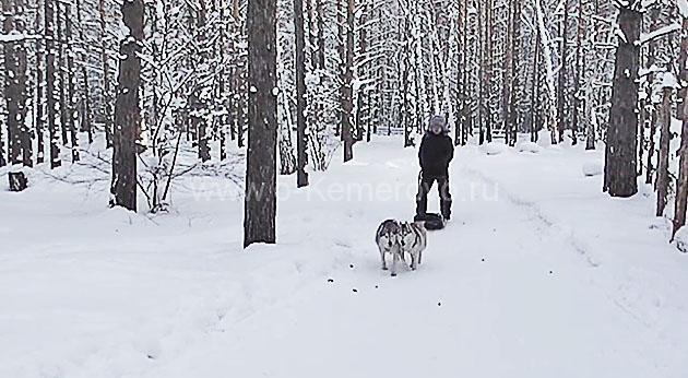 мужчина катается на собачьей упряжке, Хаски-лэнд в Кемерово